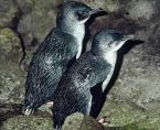 Spying on the Little Blue Penguins